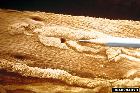 How To Treat Borer In Furniture by Borers And Furniture Beetles In Melbourne