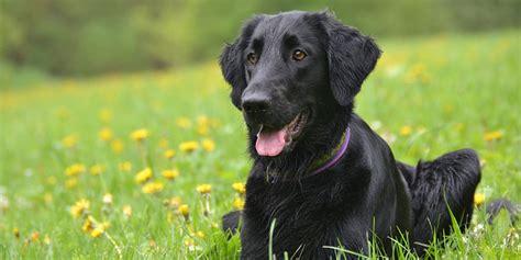 flat coated retriever strong and elegant working retriever dogs planetanimalzone brune flatter hvalpe