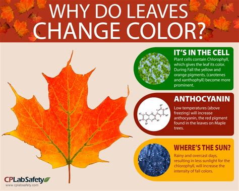 why do the leaves change colors infographic why leaves change color