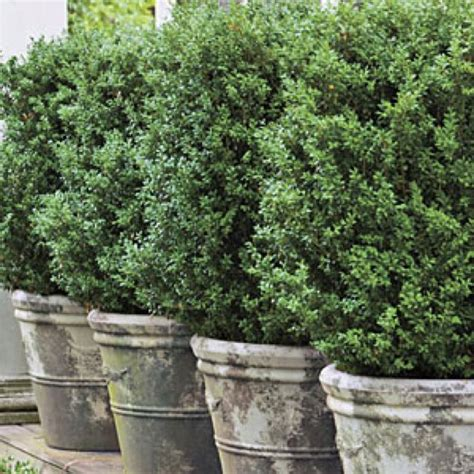 Boxwood Planters by Best 25 Boxwood Hedge Ideas On Hedges Patio