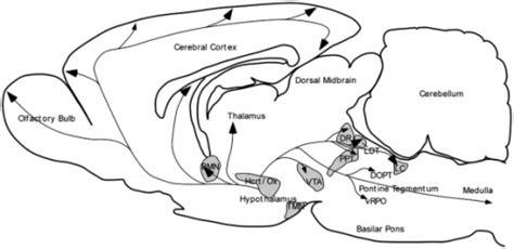 rat brain sections sagittal scheme of the rat brain illustrating hypocreti