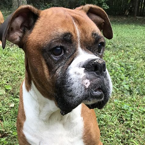 atlanta rescue atlanta boxer rescue available boxers