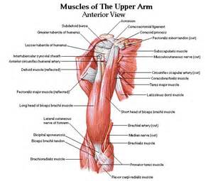 Arm muscles google and search on pinterest