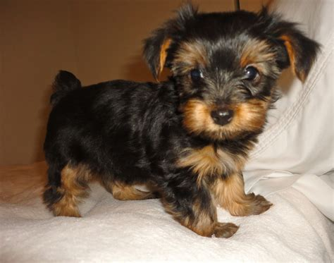 akc yorkies pin tea cup yorkies terriers on