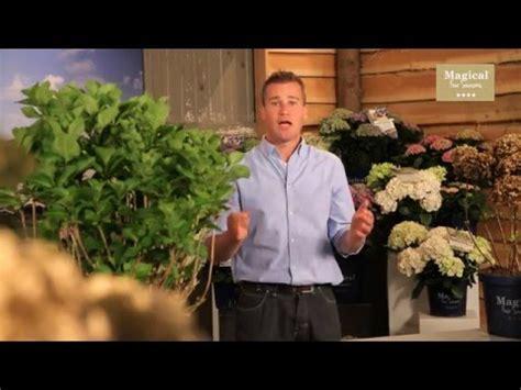 wann schneide ich hortensien wann topfe ich meine hortensien um