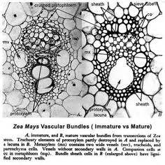 zea stem cross section zea mays corn a monocot leaf cross section 100x a