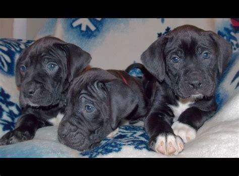 boxador puppies for sale best 25 boxador puppies for sale ideas on boxer sale boxers for sale and