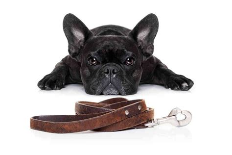 how to to stop pulling on leash pulling on the leash learn how to stop it now
