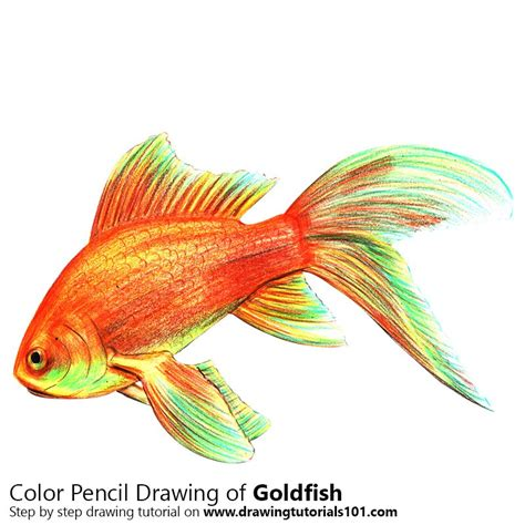 gold color pencil gold fish colored pencils drawing gold fish with color