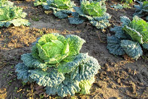 Kale Garden by Kale In Garden Harvest To Table