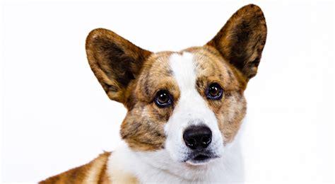 akc corgi puppies cardigan corgi breed information american kennel club