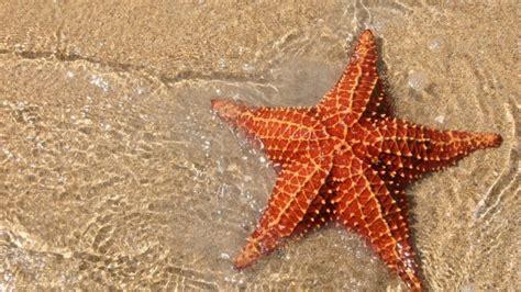 gambar wallpaper bintang laut ciri ciri dan fakta mengenai bintang laut ragam informasi