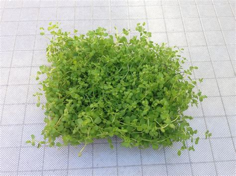 Aquarium Plants 3 montecarlo on 5 x 3 mat easy foreground carpet aquarium