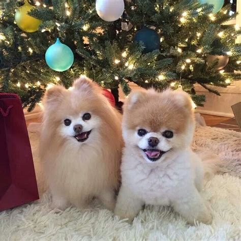 boo the dog christmas 18 best images about pomeranian on utah that awkward moment and thoughts