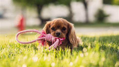 wallpaper canine dog puppy  animals