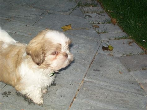 puppies in a box shih tzu pin shih tzu poo mix puppies for sale 8 weeks 20000 each in mexico on