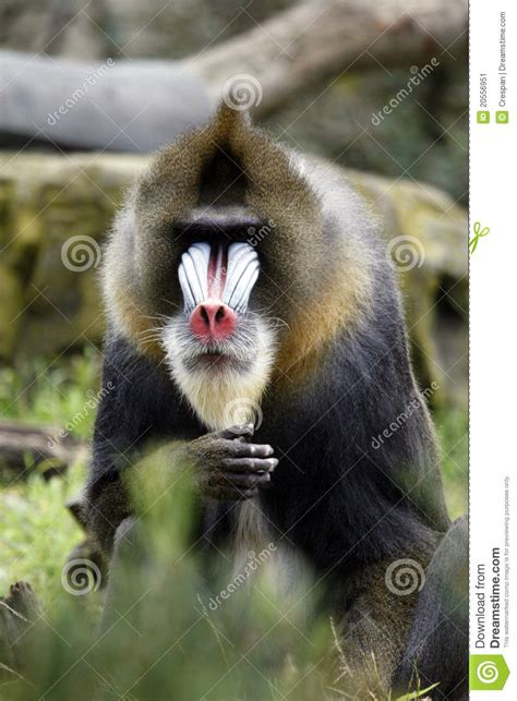 baboon face stock image image  brown pink nose mandrillus