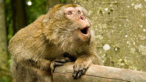 monkeys  talkand    sound     science aaas