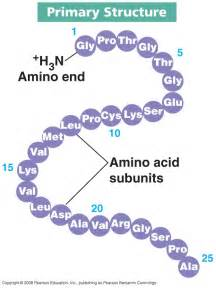 It is the amino acid sequence of the polypeptide chains in a protein