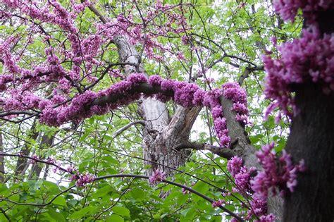 redbud tree bing images
