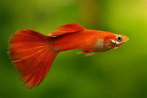 Pelet Ikan Gapi Dan Cupang budidaya ikan guppy yang cantik zona ik n