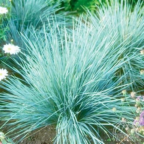 blue oat grass for the yard pinterest