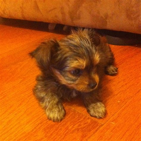 cute chorkie puppy haircuts my new chorkie puppy gable cute things pinterest