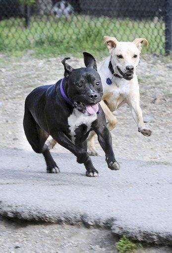 pitbull puppies md maryland pit bull ruling is challenged in federal court baltimoresun