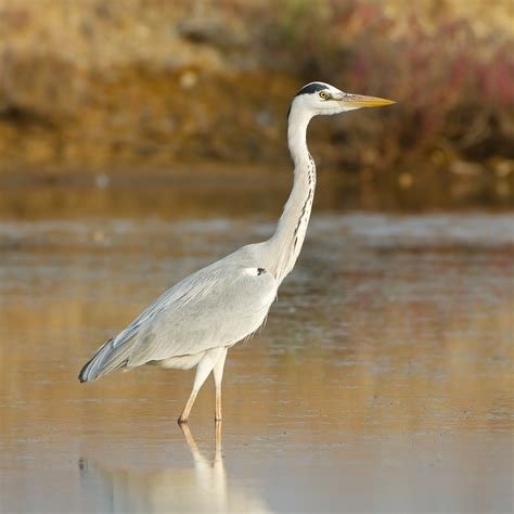 wallpaper grey with birds grey heron photos and wallpapers collection of the grey