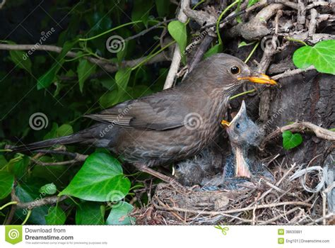 eurasian blackbird female at nest feeding chicks stock