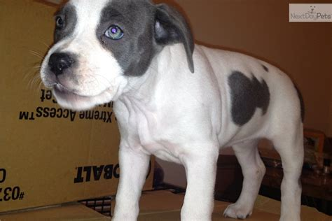 bully puppies for sale in ny search results american bully for sale ny the best hair style