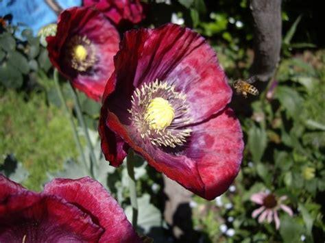 fiore oppio papavero da oppio piante medicinali caratteristiche