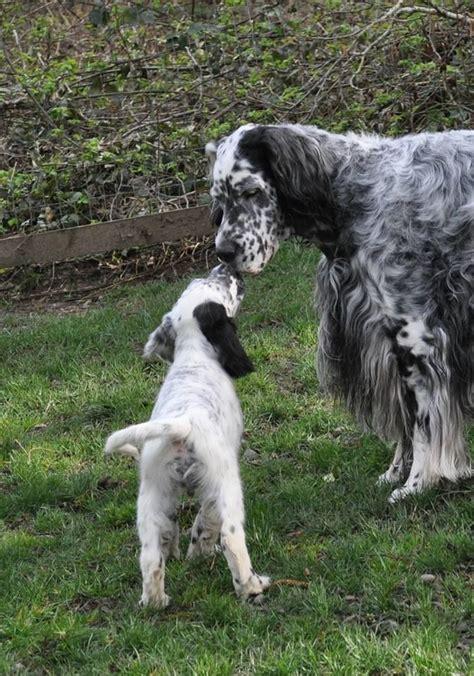 windfall farm english setters hunting dog breeders 475 best english setters images on pinterest doggies