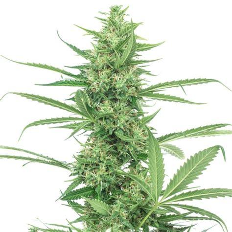 semi cannabis semi power plant femminizzati high supplies