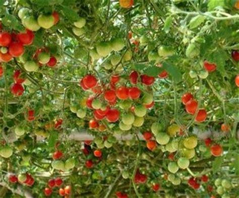 60 Biji Benih Wortel Chantenay Cored benih tomat italian tree 2 biji non retail bibitbunga