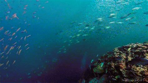 barco naufragado animado shoal fishes gifs find share on giphy