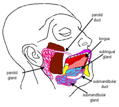 diagram of salivary glands histology guide