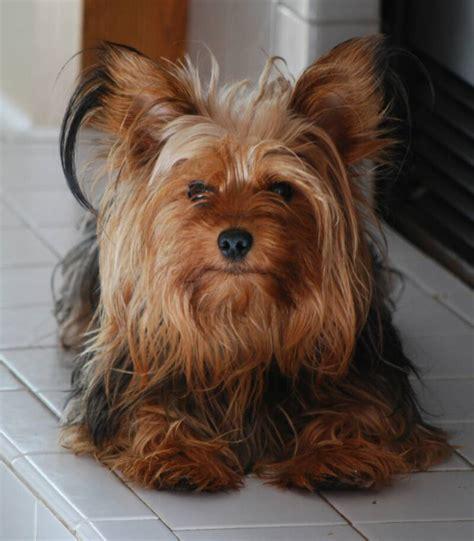 yorkie growth ajjls yorkie puppies parents