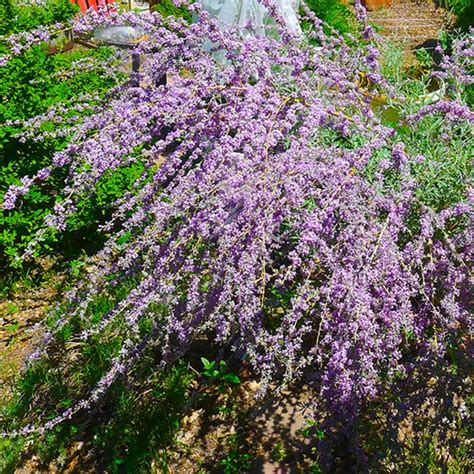 mountain gardening make the most of shrubs in your garden - Flowering Shrubs With Purple Flowers