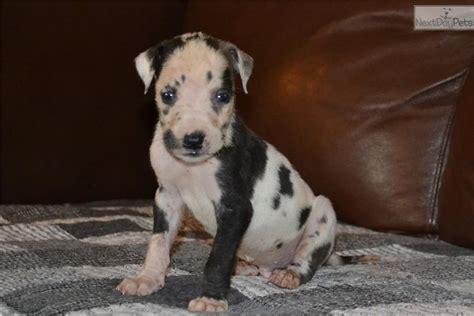 great dane puppies nc great dane puppy for sale near eastern nc carolina