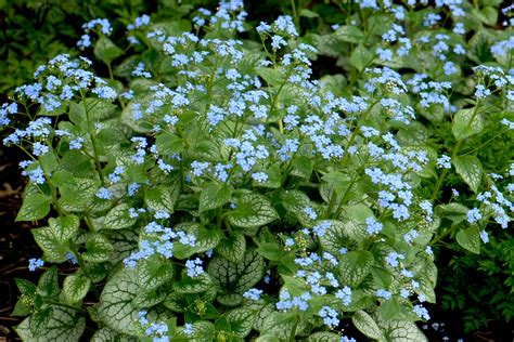 brunnera jack frost does it really need a perennial of the year award journal garden