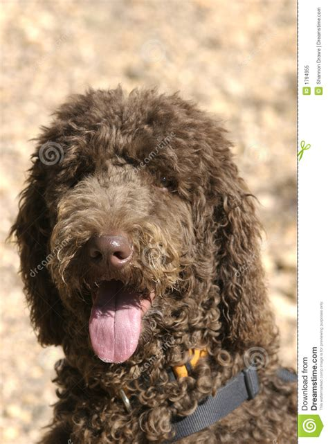 chocolate poodle puppy brown standard poodles happy chocolate brown poodle with a sweaty pink tongue and