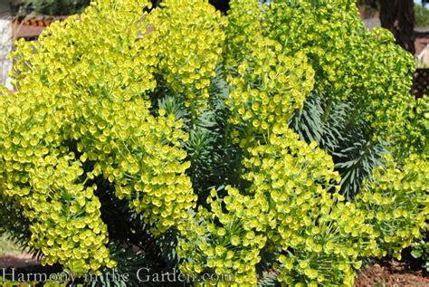 euphorbia euphoria harmony in the garden