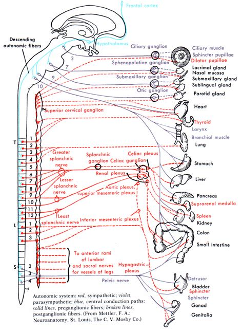 diagram of autonomic nervous system autonomic nervous system diagram autonomic free engine