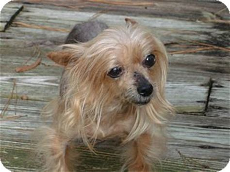 crested powder puff yorkie mix crested yorkie mix breeds picture