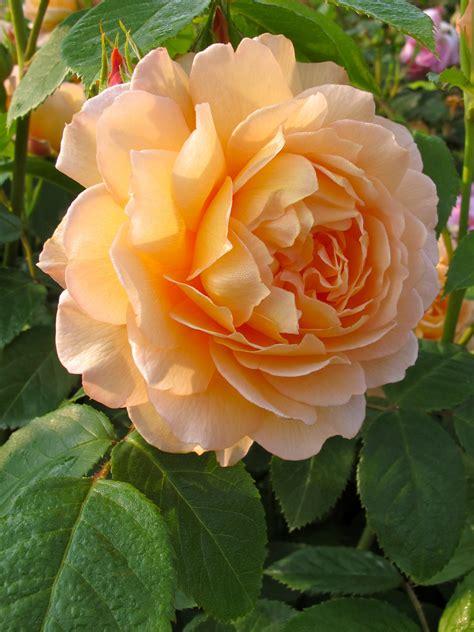 the english roses gallery of orange english roses rushton