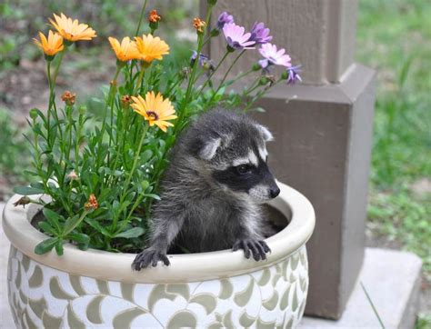 how to get rid of a raccoon in your backyard how to get rid of raccoons safebee