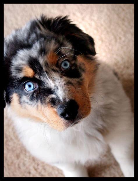 merle aussie puppy blue merle australian shepherd puppy aussies
