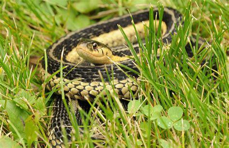 Garter Snake Eat Snakes Are Easier To Respect Than Outdoorhub