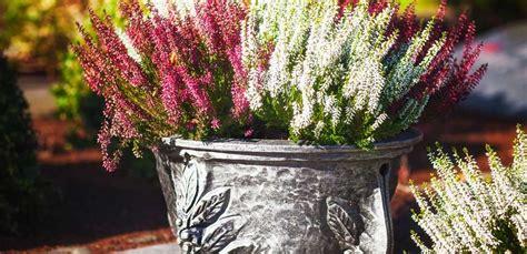erica in vaso erica la pianta pi 249 e colorata dell autunno leitv